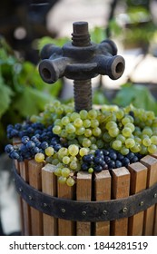 The press is used to press the wine. Folk tradition of winemaking wine production Harvest fun, wine press, white must and bunch of grapes