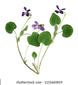 Pressed and dried bush delicate forest violets, isolated on white background. For use in scrapbooking, floristry or herbarium.