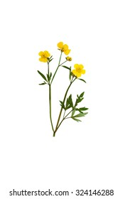 Pressed and Dried bush Meadow Buttercup (Ranunculus acris). Isolated on white background.