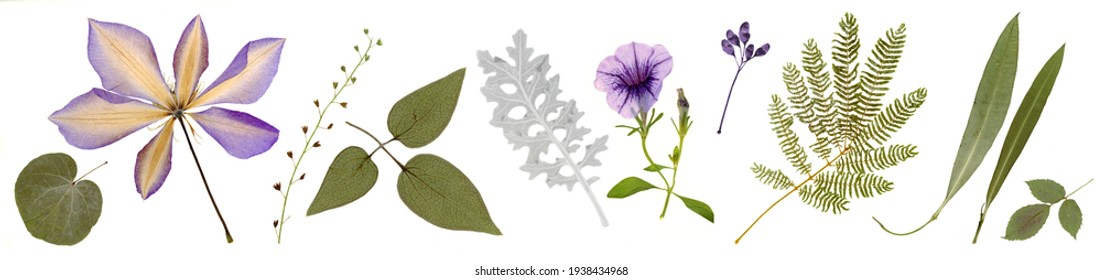 Pressed and dried clematis, bindweed flowers, olive leaves, acacia isolated on white background. For use in floral patterns, compositions, herbariums, scrapbooking, floristry.