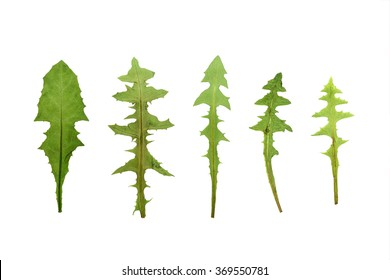 Pressed and dried dandelion leaves set isolated on a white background.