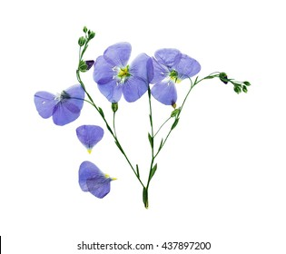 Pressed and dried delicate blue flower flax. Isolated on white background. For use in scrapbooking, floristry (oshibana) or herbarium.