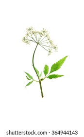 Pressed and dried delicate flower cicuta virosa or water-hemlock on stem with green leaves. Isolated on white background.