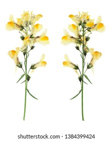 Pressed and dried delicate flowers Linaria vulgaris on stem with green leaves. Isolated on white background. For use in scrapbooking, floristry or herbarium.