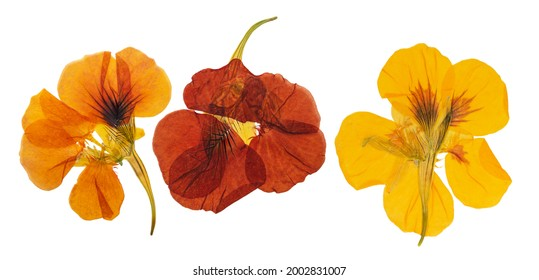 Pressed and dried delicate orange, yellow flowers nasturtium (tropaeolum). Isolated on white background. For use in scrapbooking, floristry or herbarium.