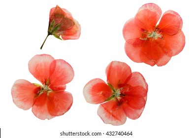 Pressed and dried delicate pink flowers of geranium (pelargonium). Isolated on white background.