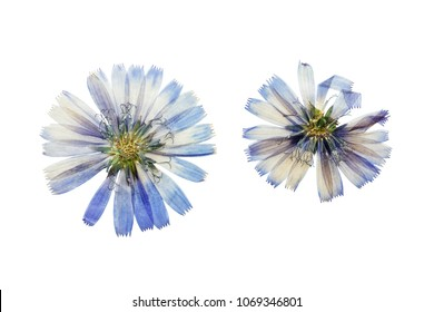 Pressed and dried delicate transparent blue flowers chicory or cichorium. Isolated on white background. For use in scrapbooking, floristry or herbarium.