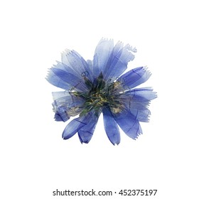 Pressed and dried delicate transparent blue flowers chicory or cichorium. Isolated on white background. For use in scrapbooking, floristry (oshibana) or herbarium.