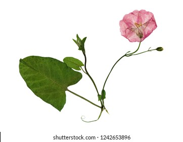 Pressed and dried delicate transparent flowers of bindweed. Isolated on white background. For use in scrapbooking, floristry or herbarium.