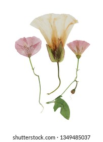Pressed and dried delicate transparent flowers of bindweed,  calystegia sepium. Isolated on white background. For use in scrapbooking, floristry or herbarium.