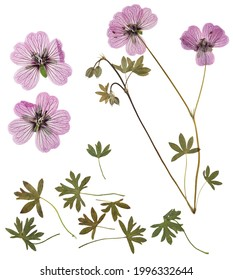 Pressed and dried delicate transparent flowers geranium, isolated on white background. For use in scrapbooking, floristry or herbarium.