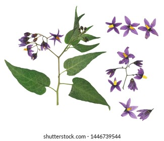 Pressed and dried delicate violet flower bittersweet nightshade (solanum dulcamara) on stem with green leaves. Isolated on white background. For use in scrapbooking, floristry or herbarium.