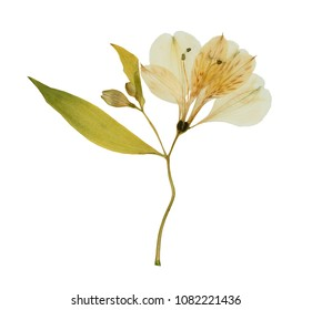 Pressed and dried flower alstroemeria, isolated on white background. For use in scrapbooking, floristry or herbarium.