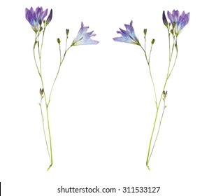 Pressed and Dried flower campanula  photographed from front and back side. Isolated on white background.