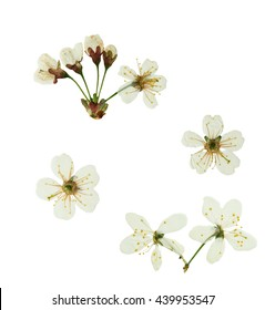 Pressed and dried flower  cherry-tree. Isolated on white background. For use in scrapbooking, floristry (oshibana) or herbarium.