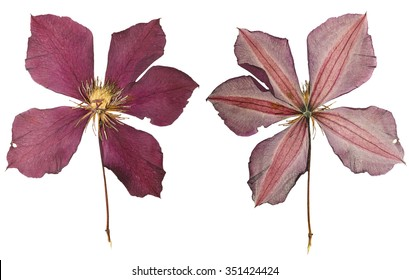 Pressed and Dried flower clematis  photographed from front and back side. Isolated on white background.