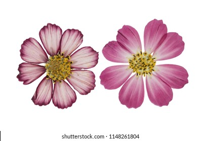Pressed and dried flower cosmos, isolated on white background. For use in scrapbooking, floristry or herbarium.