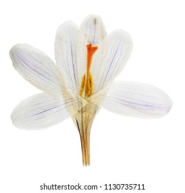 Pressed and dried flower Crocus (Saffron). Isolated on white background. For use in scrapbooking, floristry or herbarium.