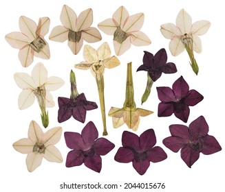Pressed and dried flower fragrant tobacco, isolated on white background. For use in scrapbooking, floristry or herbarium.