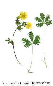 Pressed and dried flower and green carved leaves potentilla anserine, isolated on white background. For use in scrapbooking, floristry or herbarium.