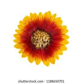 Pressed and dried flower helenium isolated on white background. For use in scrapbooking, floristry or herbarium.
