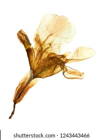 Pressed and dried flower of Iris isolated on white background for use in scrapbooking, floristry (oshibana) or herbarium