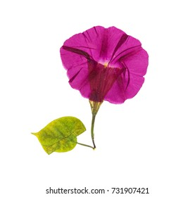 Pressed and dried flower morning-glory or Ipomoea, isolated on white background.