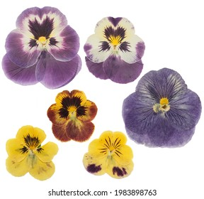 Pressed and dried flower pansies or violet, isolated on white background. For use in scrapbooking, floristry or herbarium.