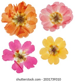 Pressed and dried flower purslane (portulaca), isolated on white background. For use in scrapbooking, floristry or herbarium.
