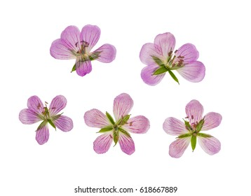Pressed and dried flower siberian geranium (geranium sibiricum), isolated on white background. For use in scrapbooking, floristry (oshibana) or herbarium.