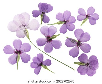 Pressed and dried flower silene (viscaria), isolated on white background. For use in scrapbooking, pressed floristry or herbarium.
