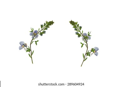 Pressed and Dried flower  Veronica officinalis shot from front and back. Isolated on white background.