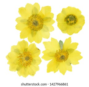 Pressed and dried flowers adonis, isolated on white background. For use in scrapbooking, pressed floristry or herbarium.