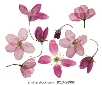 Pressed and dried flowers of apple, isolated on white background. For use in scrapbooking, pressed floristry or herbarium.