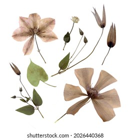 Pressed and dried flowers and buds of clematis isolated on white background. For use in floral patterns, compositions, herbariums, scrapbooking, floristry.