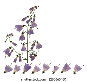 Pressed and dried flowers campanula, isolated on white background. For use in scrapbooking, floristry or herbarium.