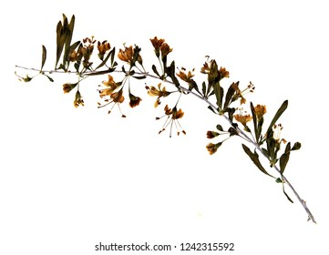 Pressed and dried flowers of Chinese wolfberry  (Lycium barbarum) on stem with leaves isolated on white background for use in scrapbooking, floristry (oshibana) or herbarium