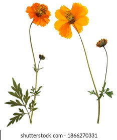 Pressed and dried flowers cosmos (cosmea carpet), isolated on white background. For use in scrapbooking, floristry or herbarium.