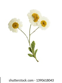 Pressed and dried flowers of feverfew. Isolated on white background. For use in scrapbooking, floristry  or herbarium.