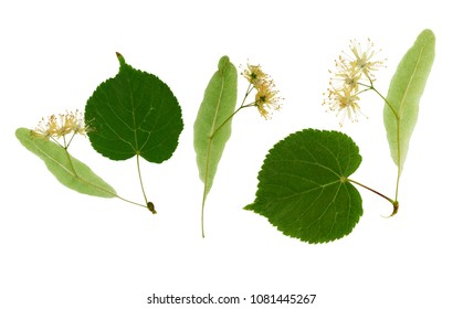 Pressed and dried flowers Linden isolated on white background. For use in scrapbooking, floristry or herbarium.