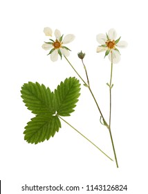Pressed and dried flowers strawberry with green leaves. Isolated on white background. For use in scrapbooking, floristry or herbarium.