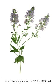 Pressed and dried flowers veronica officinalis, isolated on white background. For use in scrapbooking, floristry or herbarium.