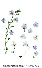Pressed and dried flowers  Veronica officinalis. Isolated on white background. For use in scrapbooking, floristry (oshibana) or herbarium.