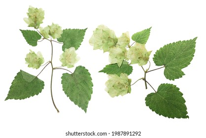 Pressed and dried hop (humulus lupulus) female flowers with green leaves. Isolated on white background. For use in scrapbooking, floristry or herbarium.