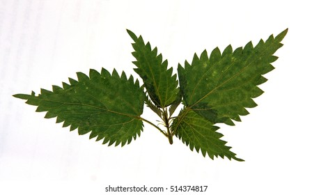 Pressed and dried leaves of stinging nettle (Urtica dioica) on stem with leaves isolated on white background for use in scrapbooking, floristry (oshibana) or herbarium.