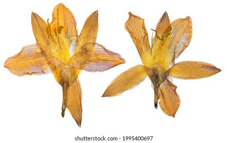 Pressed and dried orange flower day lily isolated on white background. For use in scrapbooking, floristry or herbarium.