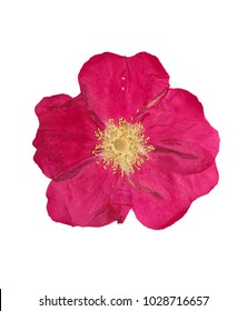 Pressed and dried pink delicate transparent flower wild rose, isolated on white background.  For use in scrapbooking, floristry or herbarium.