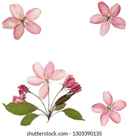 Pressed and dried pink delicate transparent flower apple tree, isolated on white background. For use in scrapbooking, pressed floristry or herbarium. Flat lay.