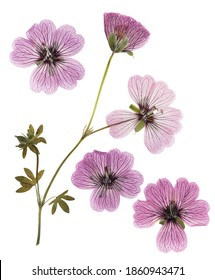 Pressed and dried pink delicate transparent flowers geranium (pelargonium), isolated on white background. For use in scrapbooking, floristry or herbarium.