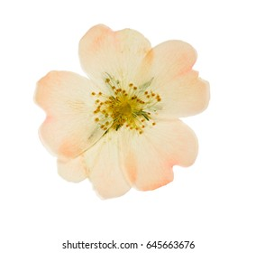 Pressed and dried pink delicate transparent flower wild rose. Isolated on white background.  For use in scrapbooking, floristry (oshibana) or herbarium.